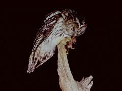 フクロウネズミを食べる